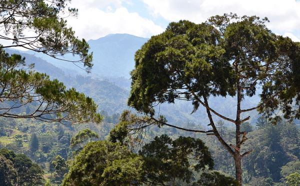 Papua New Guinea Trees